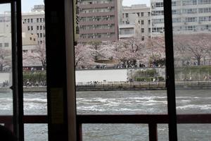 屋形船から見た桜